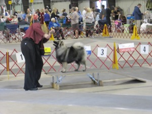 Stacking 6 month old Clancy at his first dog show (AKC)