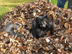 Clancy in the leaves2