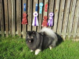 Clancy and I did 4 UKC events on the same day!  Here's the results:  In the morning we earned 2nd place in Rally O1, and Best in Show (altered class)!  In the afternoon, we earned 1st place in Rally O1 and Reserve Best in Show (altered)!  A good day!