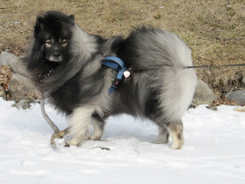 The windy freezing cold doesn't phase my young keeshond, Clancy.  He's enjoying playing with some driftwood on a frozen lake in Michigan.