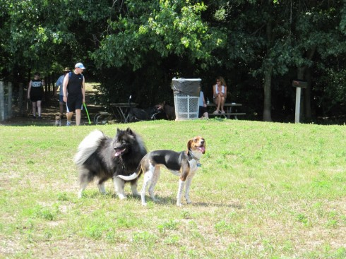 Clancy enjoying canine companionship at the dog park.