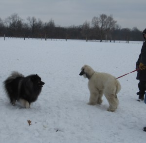 This Afghan Hound feels a little nervous being on his leash at the dog park.