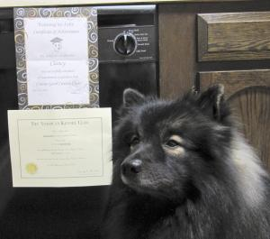 Clancy proudly sits next to his AKC Canine Good Citizen certificate and course graduation certificate. Every dog and owner should aspire to achieve this to be a confident ambassador of dog-kind! Training to pass the AKC Canine Good Citizen test (any dog, mixed or pure-bred can achieve this) takes a lot of practice and patience. If at first you don't succeed, try... try again!