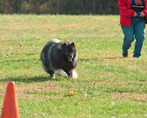 "Though Clancy and I will likely never be classified as ""athletes"", we do enjoy having fun participating in all kinds of dog sports! Here Clancy and I are doing lure coursing. As long as you and your dog have a good bond and basic training, you two can learn to participate in all kinds of dog sports and activities together!"