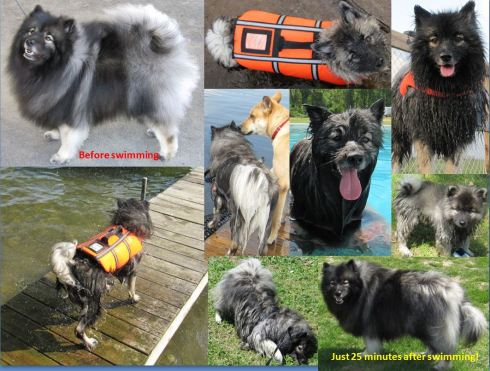 Clancy's  transformation of being a  dry Keeshond to wet to mostly dry again in less than a half hour!