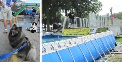 "Ultimate Air Dogs dock diving competitions...   On left:  Clancy waiting his turn to dock dive at ""The Andersons"" in Ohio. On right:  Clancy dock diving at Maryland Dogfest."
