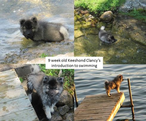Clancy has always loved the water...  any dog who who enjoys the water can enjoy dock diving!