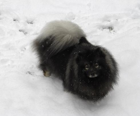 Many dogs love the snow, the Keeshond adores it!