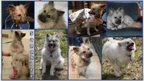 "Here are images of ""Sapphire"", originally known as ""Frances"", who was one of the lucky Keeshonden rescued from Marjorie's Kennel early this year and now lives with a loving family!"