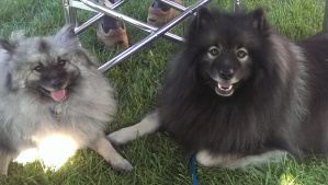 "At a Capital Keeshond Club meeting, here's Clancy enjoying spending time with ""Christian"", one of the lucky Kees rescued from Marjorie's Kennel (Puppy Mill)"