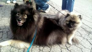 We loved seeing all the Keesies and socializing with folks at the Capital Keeshond Club Speciality on Oct. 11.  Puppies make it extra fun!