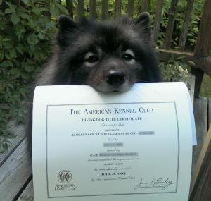 Clancy received his AKC Dock Diving title (1st titled dock diving Keeshond!)  Last year Clancy received his UKC Dock Diving title.