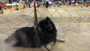 Clancy competed in AKC Obedience Novice B at the Capital Keeshond Club Specialty on Oct. 12 and earned his highest score yet, 185 1/2 (Clancy has much more fun in the other dog sports, so he's better at those than competition obedience)