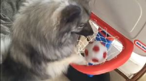 "A NY 101 Kees, ""Reggie"", playing basketball."
