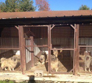 A snapshot of some of the urine stained, matted, unsocialized Keeshonden at Marjorie's Kennel