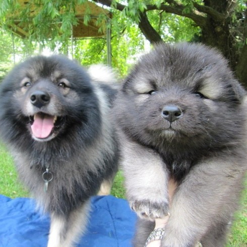 """Clancy's father, """"Kyler"""" on right, with 6 week old Clancy puppy on right"""