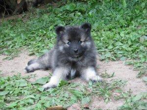 7 week old puppy, Clancy