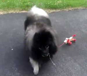 Clancy taking a child's toy dog for a walk!