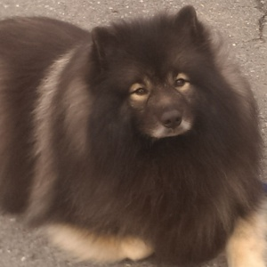 Clancy, like all Kees, have a beautiful double coat.  When it's hot, should you shave a Keeshond?  No. No. No.  Use the tips in this blog post to make your dog comfortable.