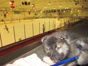 Little puppy Clancy keeping cool at his first hockey game.