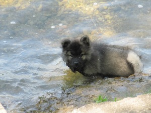 One of Clancy's first swims at 9 weeks old