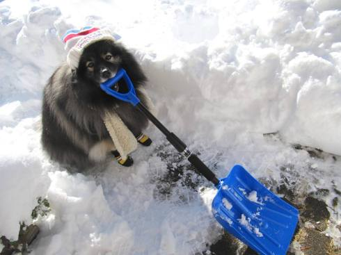Clancy the Keeshond ...  the snow shoveling dog!